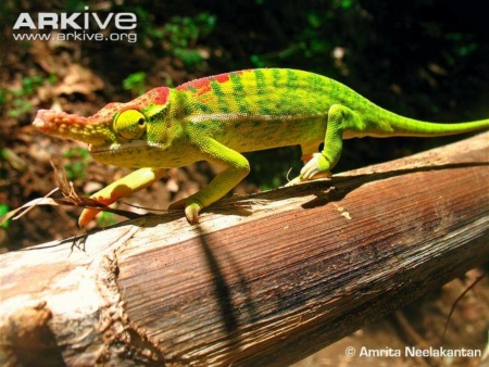 petter's chameleon for sale