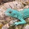 baby blue iguana for sale