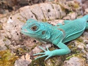baby blue iguana for sale