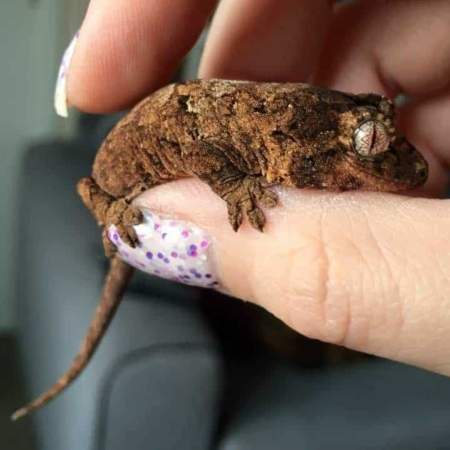 baby chahoua gecko for sale