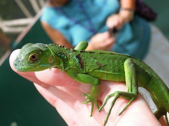 Green Iguana for sale online blue iguana for sale red baby ...
