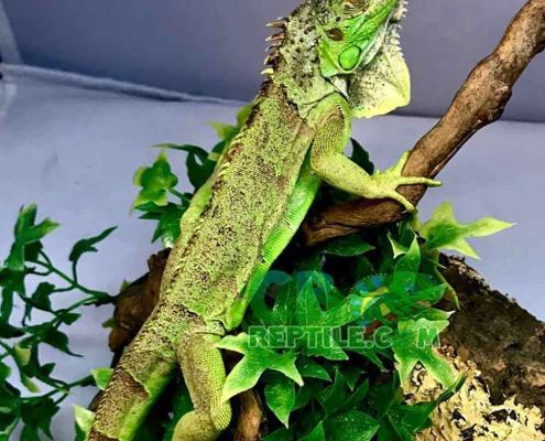 baby green iguanas for sale