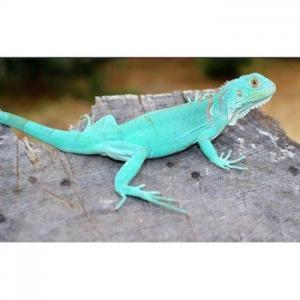 blue iguana babies for sale