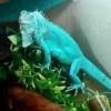 blue iguana breeder