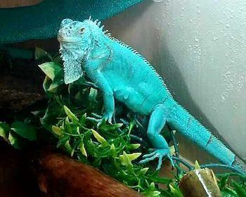 Blue Iguana For Sale : Blue iguana for sale online baby blue iguanas for sale iguana