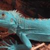 blue iguana for sale near me