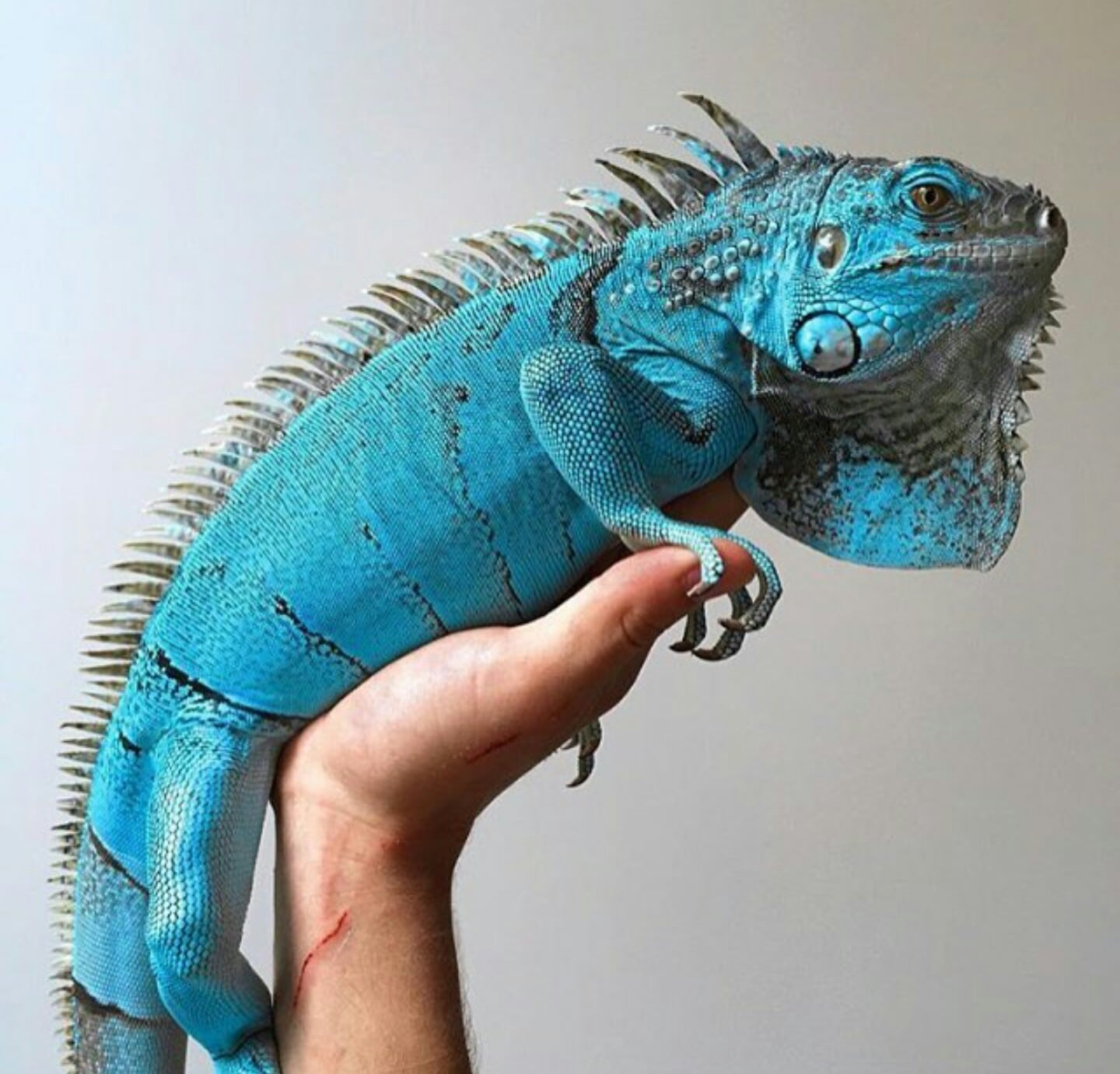 Blue Iguana For Sale Online Blue Axanthic Iguana For Sale
