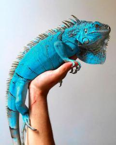 blue iguanas for sale