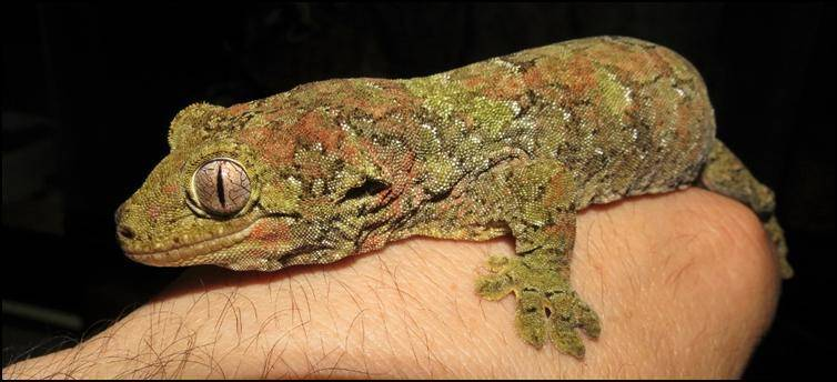 chahoua gecko for sale online