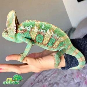 designer veiled chameleon