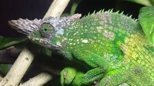 Fischer's Chameleon for sale