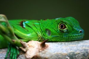 iguana for sale online