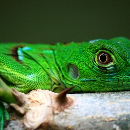Green Iguana for sale