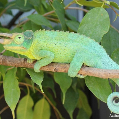 Jackson's chameleon for sale