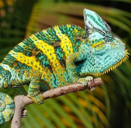 veiled chameleon for sale