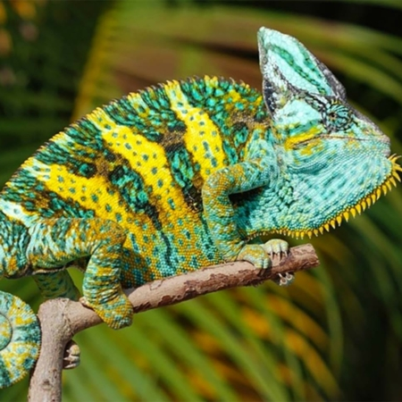 Veiled Chameleon For Sale Online Veiled Chameleons For