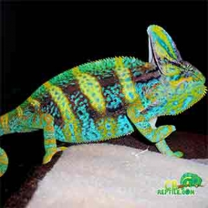 pet chameleon for sale