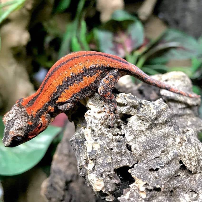 Exact Red And Orange Super Stripe Gargoyle Gecko For Sale