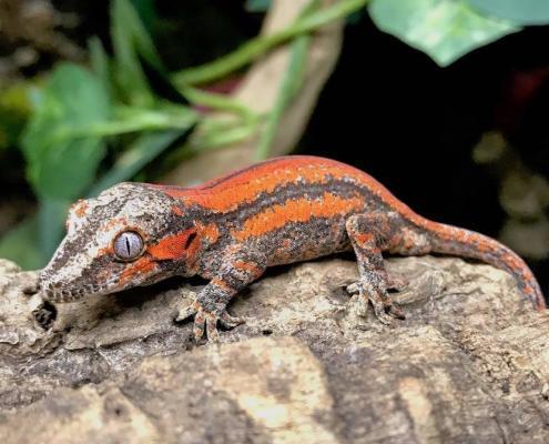 gargoyle gecko morphs