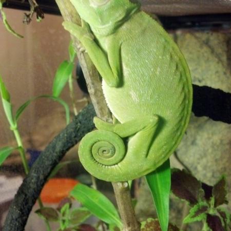Senegal Chameleon for sale