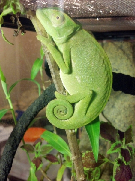 senegal chameleon for sale