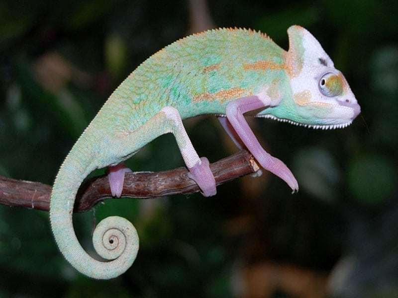 Designer Veiled Chameleon For Sale Baby Veiled