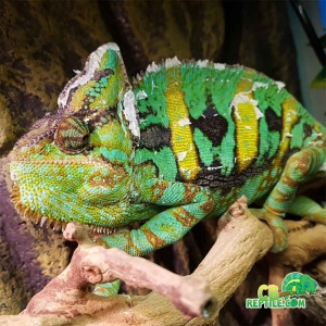 male veiled chameleon for sale