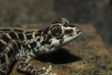 viper gecko for sale