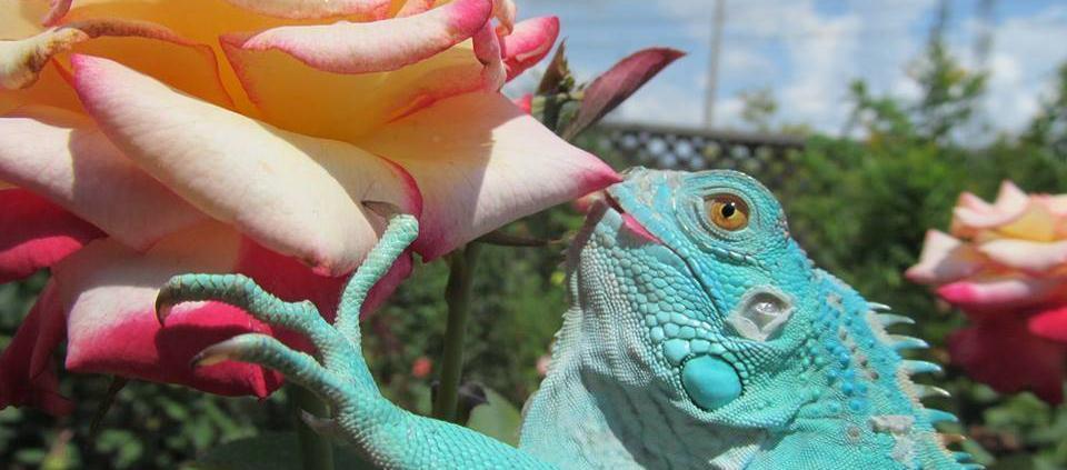 blue iguana for sale