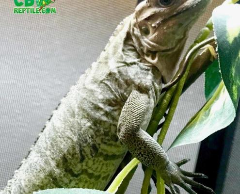 Rhino iguana
