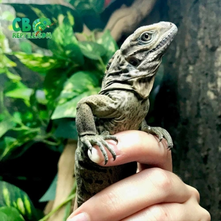 baby rhino iguana for sale