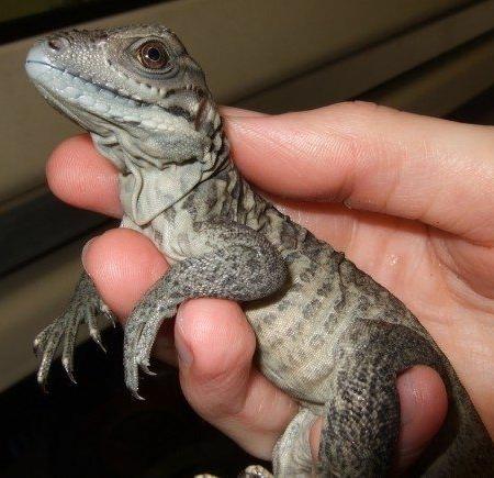 Rhino Iguana for sale