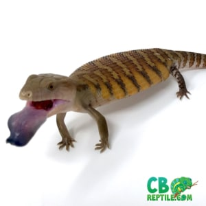 blue tongue skink breeders