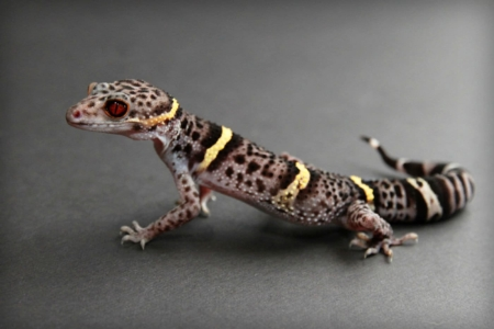 Chinese Cave Gecko for sale