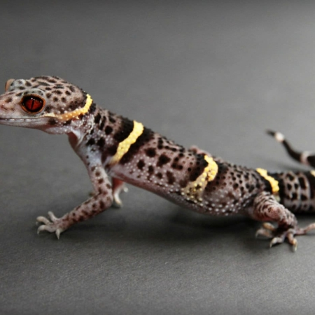 chinese cave gecko breeder