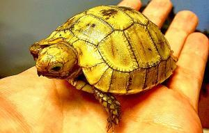 elongated tortoise sale