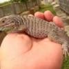 rhinoceros iguana for sale