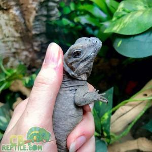 rhinoceros iguana for sale