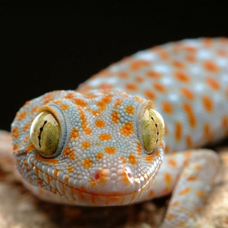 tokay gecko for sale