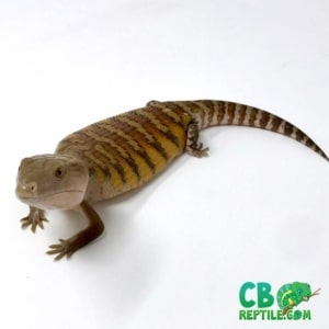 where to buy blue tongue skink