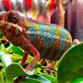 Baby Panther Chameleons