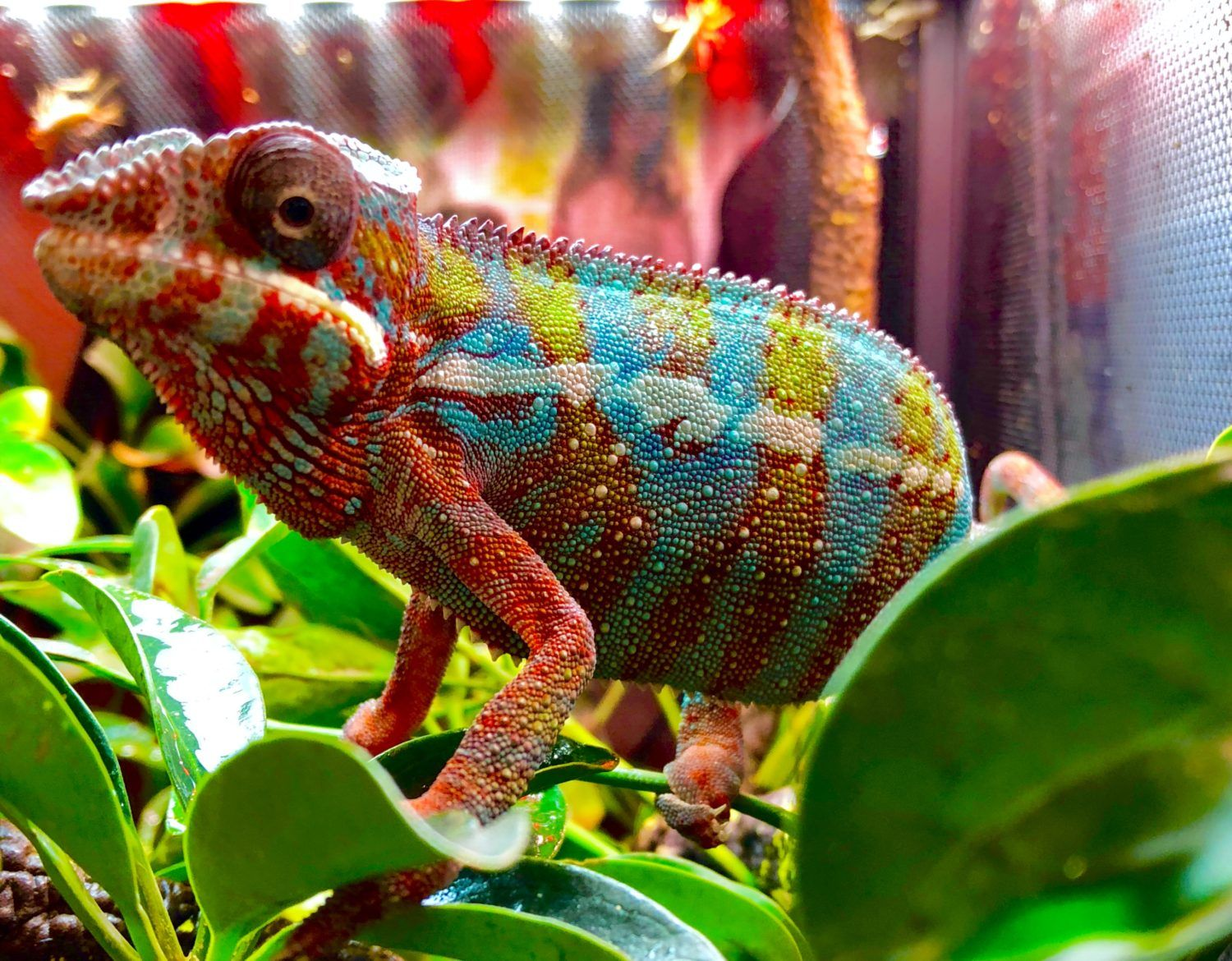 Unmistakable and unique, chameleons are perhaps the most beautiful lizards in the world. We stock a wide variety of chameleon species, with something for nearly every level of reptile-keeping experience.