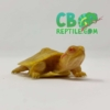 Albino Red Eared Slider Turtle for sale