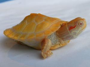 albino slider turtle for sale