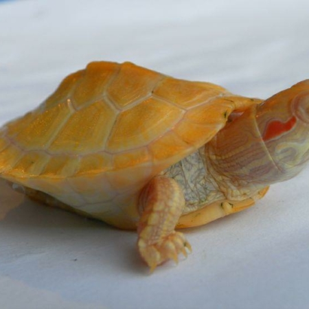 Albino Red Eared Slider Turtle for sale