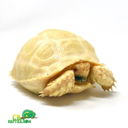 Albino Sulcata for sale