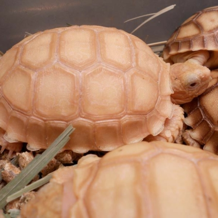 alibino sulcata tortoise for sale