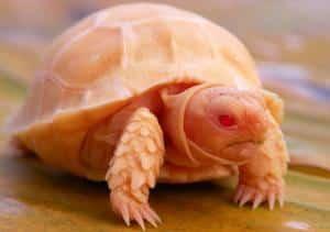 albino sulcata tortoises for sale