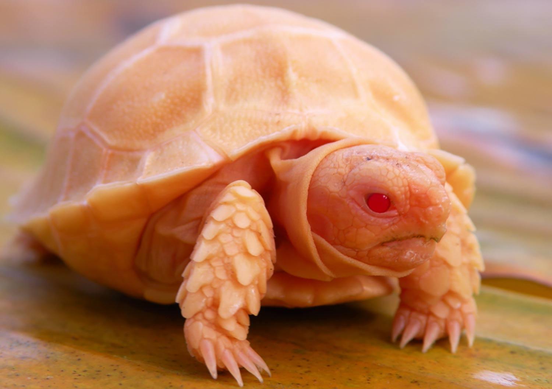 Albino Sulcata Tortoise For Sale Baby Albino Uclata