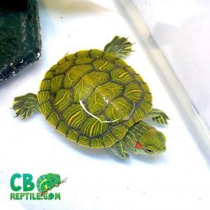 baby red ear slider for sale